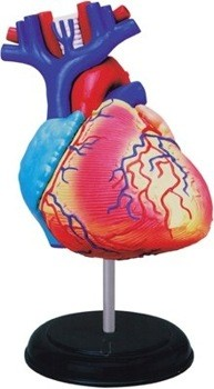 Human Heart Anatomy Model 4D