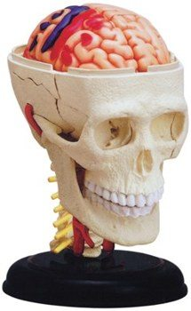 CRANIAL NERVE ANATOMY MODEL 4D