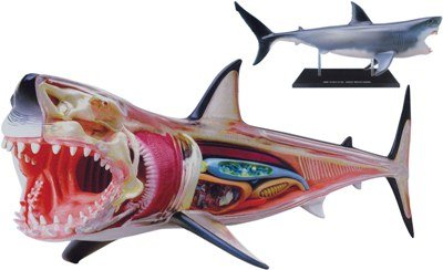 4d vision great white shark anatomy model instructions
