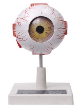 Human Eye Model Economy