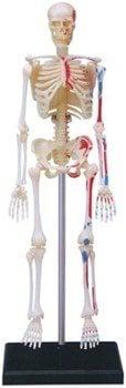 HUMAN SKELETON BIOLOGY MODEL 4D