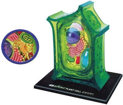 PLANT CELL MODEL 4D